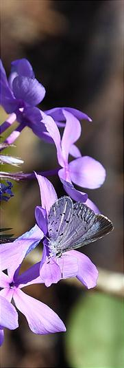 Butterfly on Phlox, Lost Valley Trail