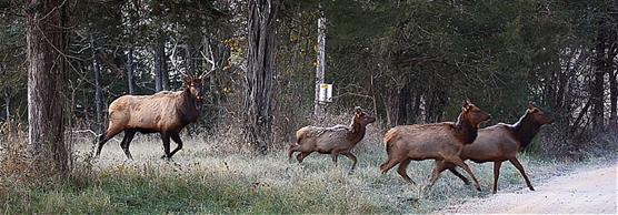 Elk Herd Crossing a Country Road